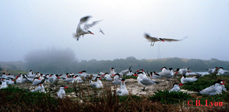 The caspian tern colony - photo by Bruce Lyon